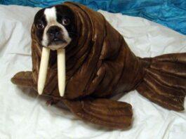 Walrus costume on dog