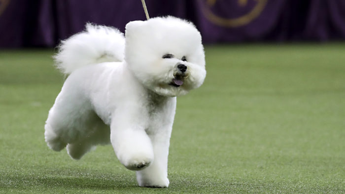 Annual Westminster Dog Show Takes Place In New York City
