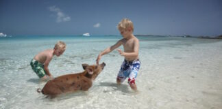 Kids playing with pigs on beach in Bahamas